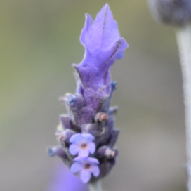 Photo of a lavender flower