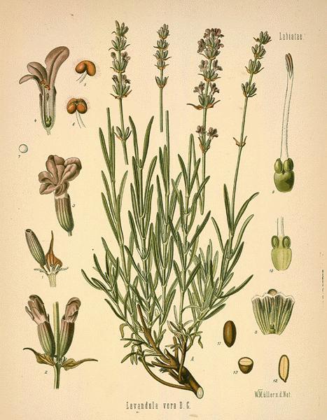 lavend13-l